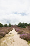 Heather landscape. With sand path Stock Image