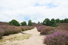 Heather landscape. With sand path Royalty Free Stock Image