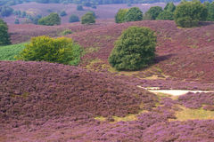 Heather landscape. With sand path royalty free stock images