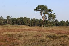 Heather landscape in autumn, National park Utrechtse heuvelrug in the Netherlands. Heather landscape in the utrechtse heuvelrug during autumn season in the Stock Photography