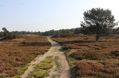 Heather landscape in autumn, National park Utrechtse heuvelrug in the Netherlands. Heather landscape in the utrechtse heuvelrug during autumn season in the Stock Images