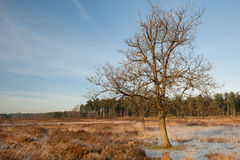 Heather landscape in winter. With a tree Royalty Free Stock Photos