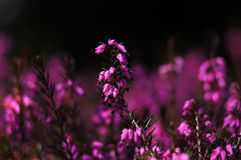 Heather, or ling (calluna vulgaris). Nice low-growing shrub with lilac flowers Royalty Free Stock Images