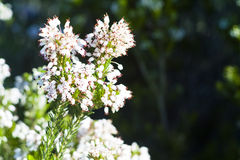 Heather, Ling (Calluna vulgaris) Royalty Free Stock Image