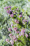 Heather, Ling (Calluna vulgaris) Stock Images