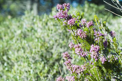 Heather, Ling (Calluna vulgaris) Royalty Free Stock Photos