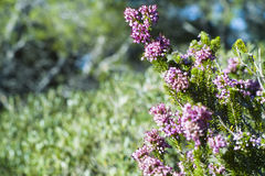 Heather, Ling (Calluna vulgaris) Stock Photos