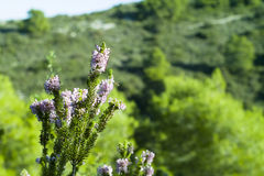 Heather, Ling (Calluna vulgaris) Royalty Free Stock Images