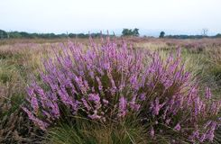 Heather on the moorland Stock Images