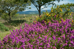 Heather  on Moorland in British National Park Royalty Free Stock Photos