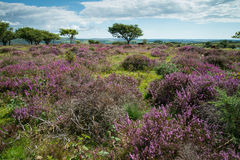 Heather  on Moorland in British National Park Royalty Free Stock Photography