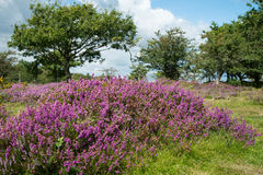 Heather  on Moorland in British National Park Stock Photos
