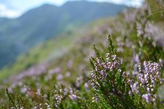 Heather on the mountains. Heather on the Tatra mountainss, Slovakia Stock Images