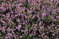 Heather on the North Yorks Moors Royalty Free Stock Photo