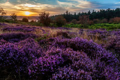 Heather. In North Yorkshire great Britain Royalty Free Stock Photos