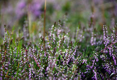 Heather. In Pentland Regional Park near Edinburgh, Scotland Stock Photo