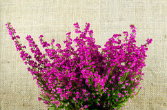 Heather plant close up Stock Photography
