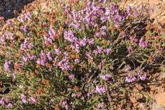 Heather plant in flower in autumn.  stock photos