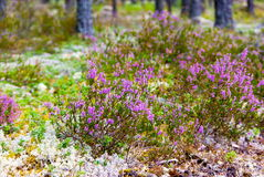 Heather plant Royalty Free Stock Photography