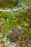 Heather plant Royalty Free Stock Images