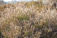 Heather plant in moorland in The Netherlands Royalty Free Stock Photos