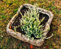Heather plant in the stoned flowerpot. Gardening theme Stock Photography