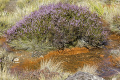 Heather plant in Tongarino National Park. Heather plant by the stream in Tongarino National Park stock photography