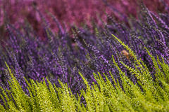 Heather plants. In abstract autumn colors Stock Photo