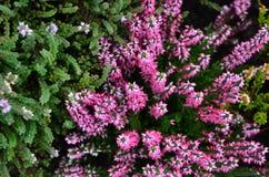Heather plants stock photo