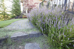 Heather Plants Flowers Along Paver Walkway Royalty Free Stock Images