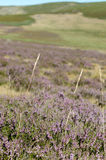 Heather. Plants in the foreground and background blur of hills Stock Image