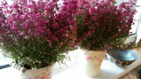 Heather plants in windowsill (calluna vulgaris) Stock Image