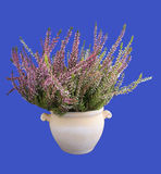 Heather in a pot, isolated Stock Photography