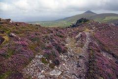 Heather rocks on the irish coast. In Dunquin on Dingle peninsula in Ireland Royalty Free Stock Image