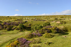 Heather and sheep in the moor, Dartmoor Royalty Free Stock Photos