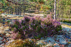 Heather in the summer forest Stock Photography
