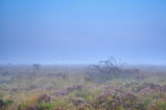 Heather on swamp in misty morning Stock Photography