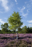 Heather Tree Lizenzfreie Stockbilder