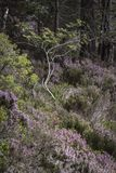 Heather and tree at Abernethy Forest in the Cairngorms National Park of Scotland. Royalty Free Stock Photography
