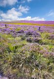 Heather wilderness (Denmark) Royalty Free Stock Images