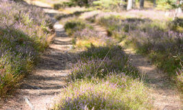Heather wildflowers in a forest Stock Photos