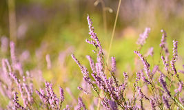 Heather wildflowers in a forest Royalty Free Stock Images