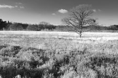 Heather in the winter, black white. Heather landscape in Gasteren in Holland Stock Images