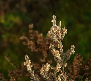 Heather in winter. royalty free stock photo