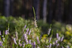 Heather in the woods Royalty Free Stock Photography