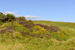 Heather and yellow flowers in the moor, Dartmoor Royalty Free Stock Image