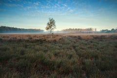 Heatherland y un árbol de abedul en otoño Imagen de archivo