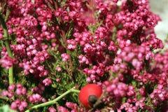 Heathers autumn flowers Royalty Free Stock Photos