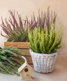 Heathers different colors Stock Image