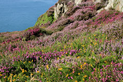 Heathers growing on the Cliffs Stock Image